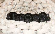 Chihuahuawelpen in Brindle und Wild