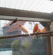 Rote Kanarienvögel