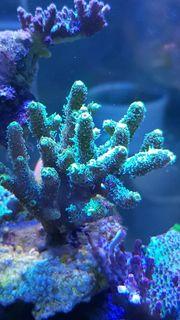 Meerwasser Korallen Ableger - Versand