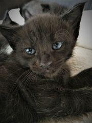 Siam-Mix kitten