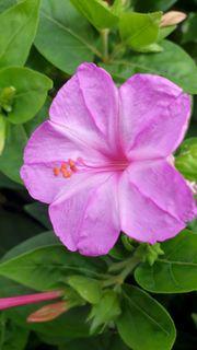 Wunderblume Rosa 10 frische Samen
