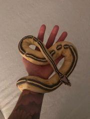 0 1 Python Regius Pastel