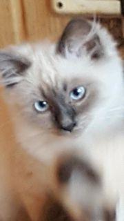 Süsses Ragdoll Katerchen Kitten
