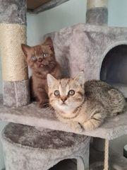 Reinreissige BKH Kitten
