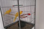Zwei süße Ziegensittiche Incl Käfig