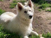 Schäferhund - Weißer Schweizer Schäferhund