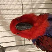 zahme Zucht paar Edel Papagei
