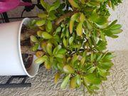 3 Geldbaumstecklinge Crassula Ovata Steckling