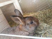 Kaninchen 5 Monate männlich unkastriert
