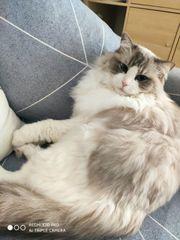 Suche auf Ragdoll Kitten bicolor