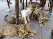 Bengal Kätzchen 12 Wochen alt