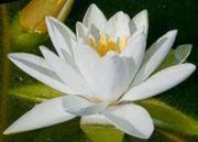 Biete Jungpflanze größter Weißer Seerose