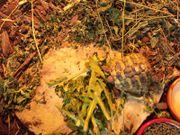 Grichische Landschildkröte zu verkaufen