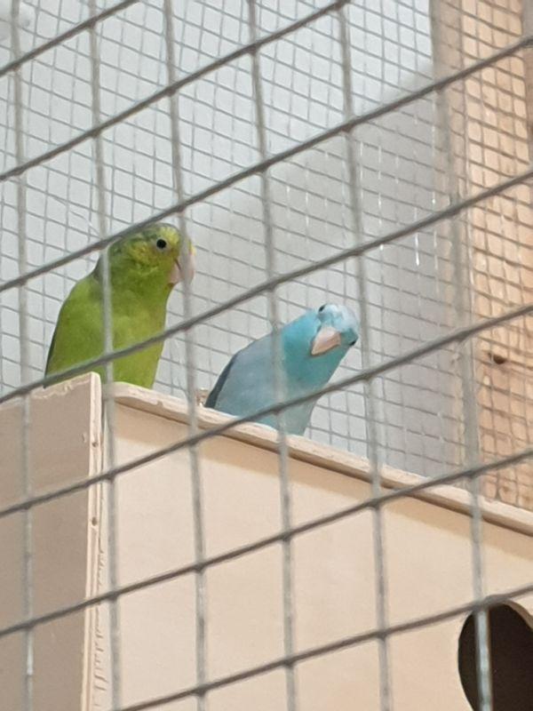 Sperlingspapageie ein Paar