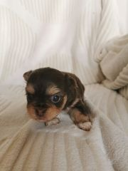 Welpen Yorkshire Chihuahua