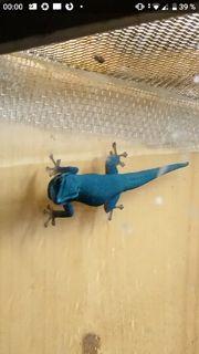 Lygodactylus Williamsi himmelblauer Zwerggecko