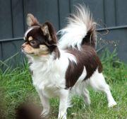 Wurfankündigung bei den Chihuahuas from