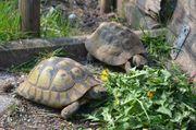 2 Pärchen Griechische Landschildkröten