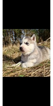 Sibirien Husky Rüde