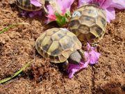 Landschildkröten Jungtiere