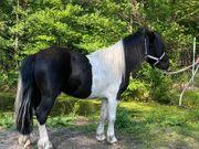 Shetland Pony Hengst - Gekört - Leistungsgeprüft
