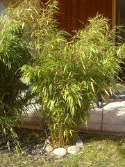 Bambus Fargesia Murielae Jumbo