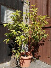 Großer Avocado Baum