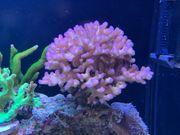 Meerwasser SPS Koralle Pocillopora Himbeerkoralle