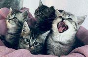 Allerliebste BKH Kitten