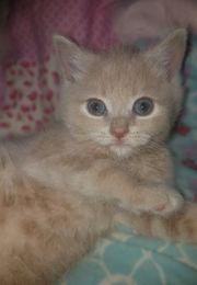 BKH Kitten 9 Wochen