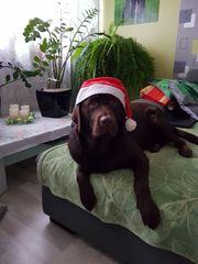 Labrador Deckrüde-KEIN VERKAUF Mit Erfahrung
