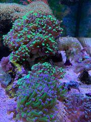 Suche meerwasserfische Aquarium Seewasser