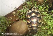 landschildkröte - breitrandschildkröte nz2018