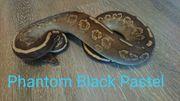 königspython Phantom Black pastel 0
