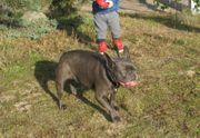 Französische Bulldogge Hündin in Blau