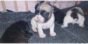 Französische Bulldoggen Baby