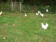 Lege Hühner