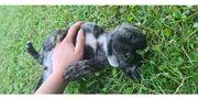 Labrador-Boxer-Mischlingswelpe