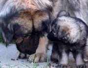 Sarplaninac Jugoslawischer Schäferhund Welpen