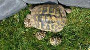 Griechische Landschildkröten Nachzucht 2018 abzugeben