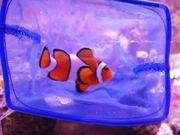 Meerwasser Anemonen Clownfisch Aquarium Zubehör