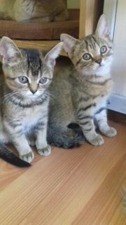 Vier süsse Britisch kurzhaar kitten