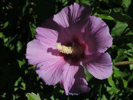 Hibiskus 140 cm hoch Garteneibisch: Kleinanzeigen aus Lustenau - Rubrik Pflanzen