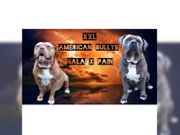 Top XXL American Bully Welpen