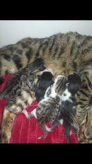 Bengal Mix Baby Kätzchen