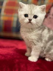wunderschöne BKH kitten britisch kurze