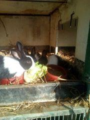 Holländer Kaninchen Böcke
