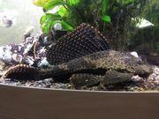 Waben-Schilderwels Pterygoplichthys ca 25cm