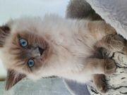 Sibirische katzen weibliche