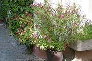 Oleander pink gefüllt